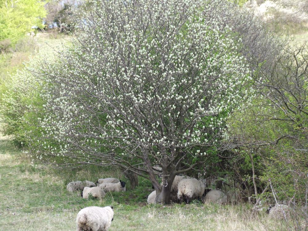 Sheep sheltering under the hawthorn.