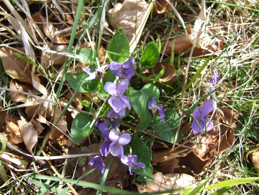 Delicate violets nestling in the grass.