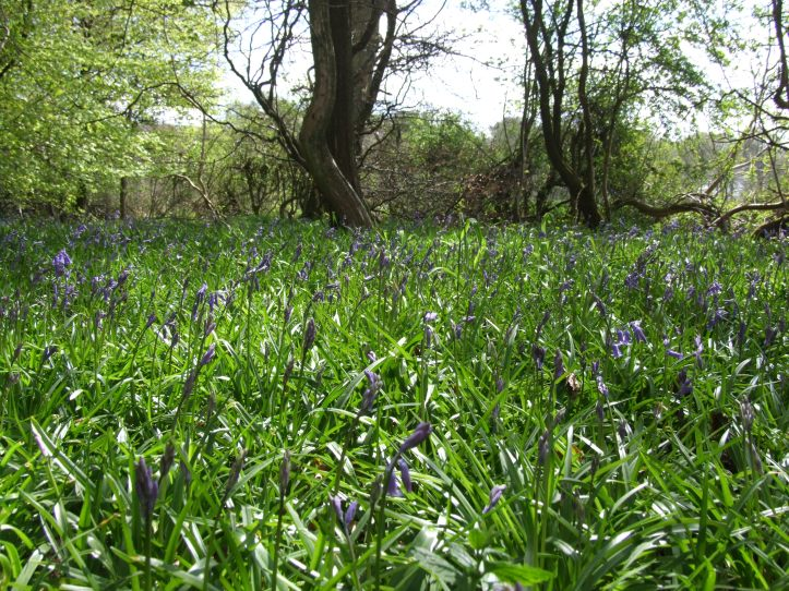 The bluebells were gradually starting to come out - they should be at their best soon.